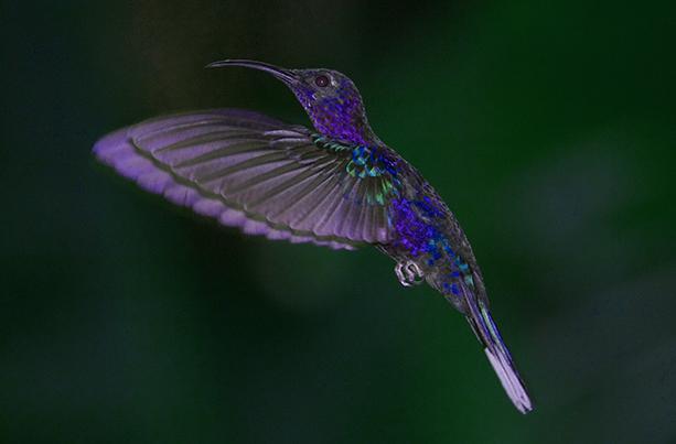 Colibris mauve