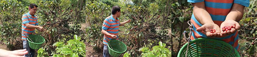Récolte des graines rouges du caféier.