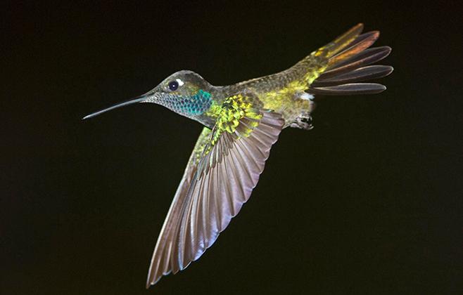 Colibris multicolor