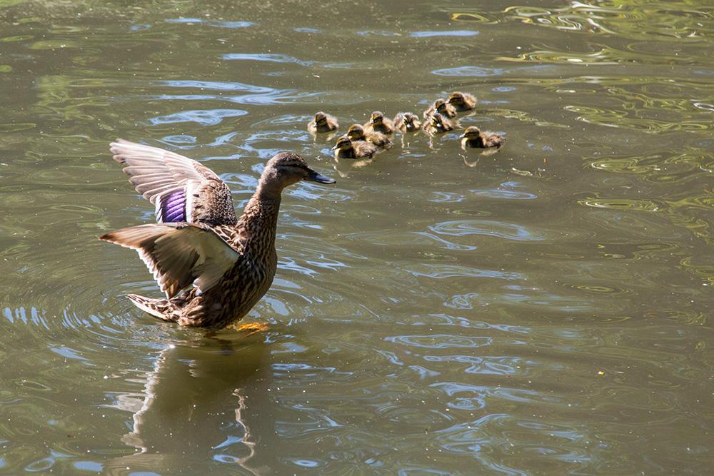 Maman canne et ses cannetons