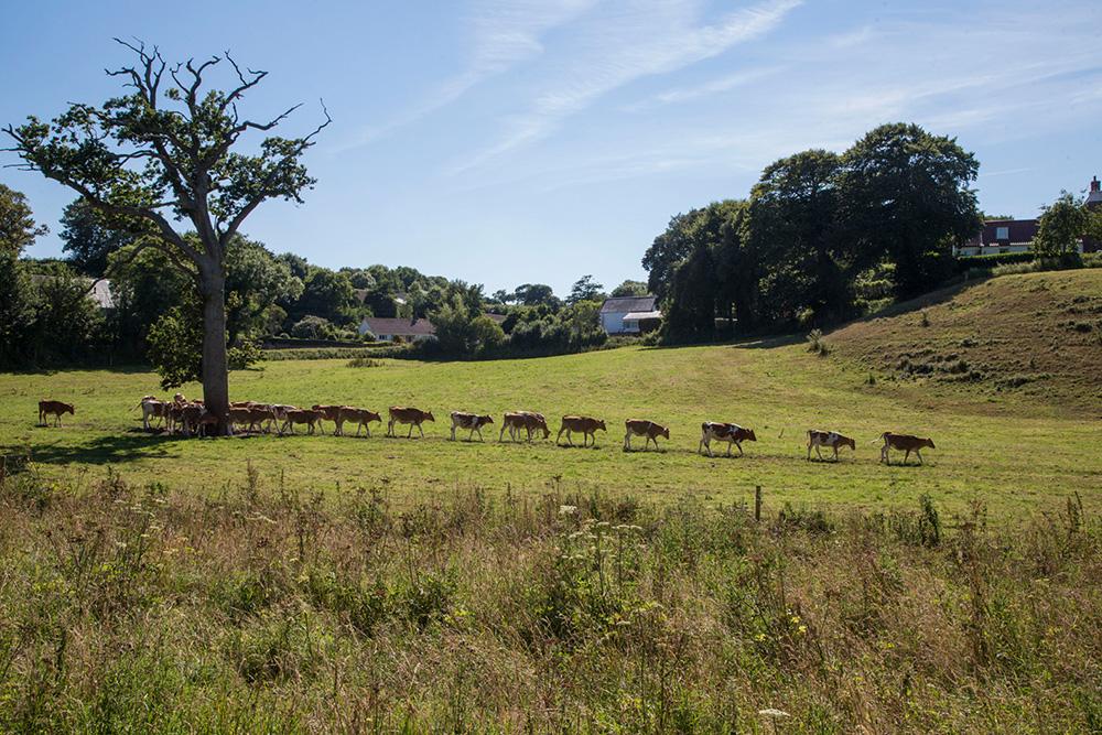 Les Vaches avance en rang
