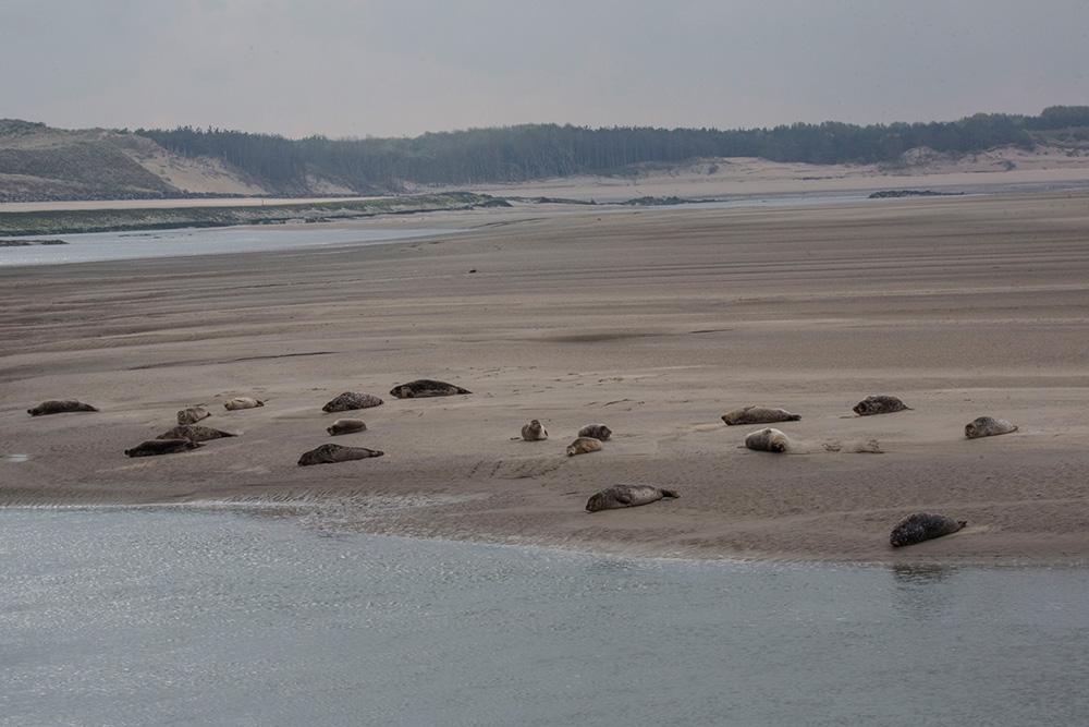 Les Phoques de la Baie d'Authie