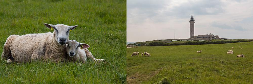 Cap Gris Nez les moutons