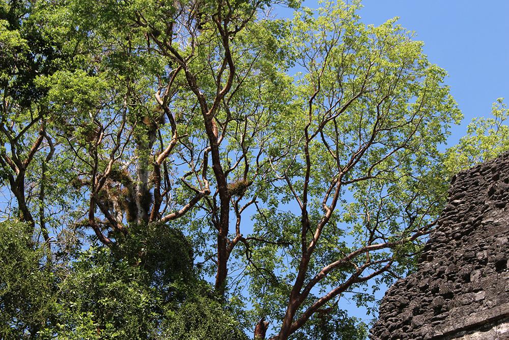 Arbre du Parc de Tikal