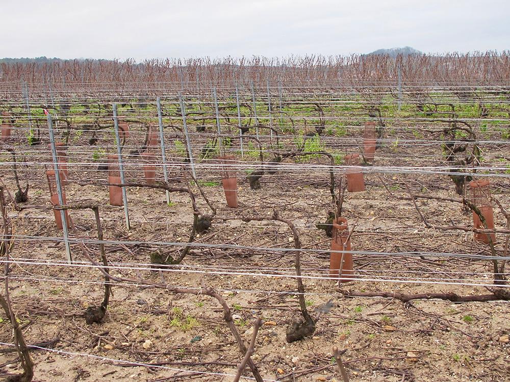 Les vignes l'hiver - des sculptures végétales ©Frédérique Lebel