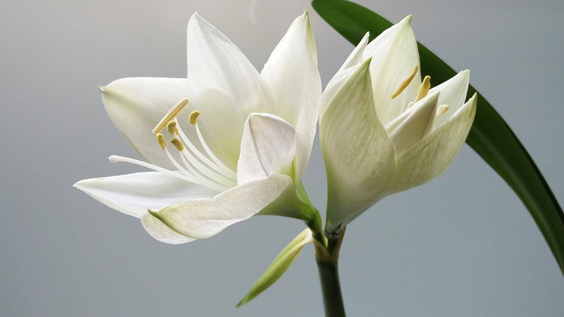 Le lys blanc