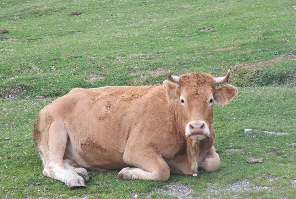 Superve vache