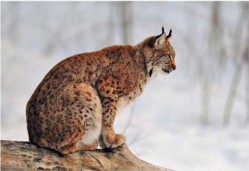 Lynx boréal- credit photo Roland Clerc