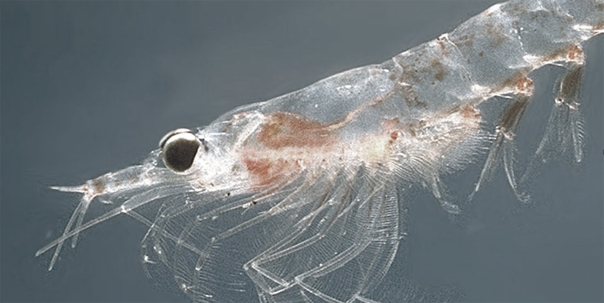 Female krill can lay up to 10,000 eggs at a time