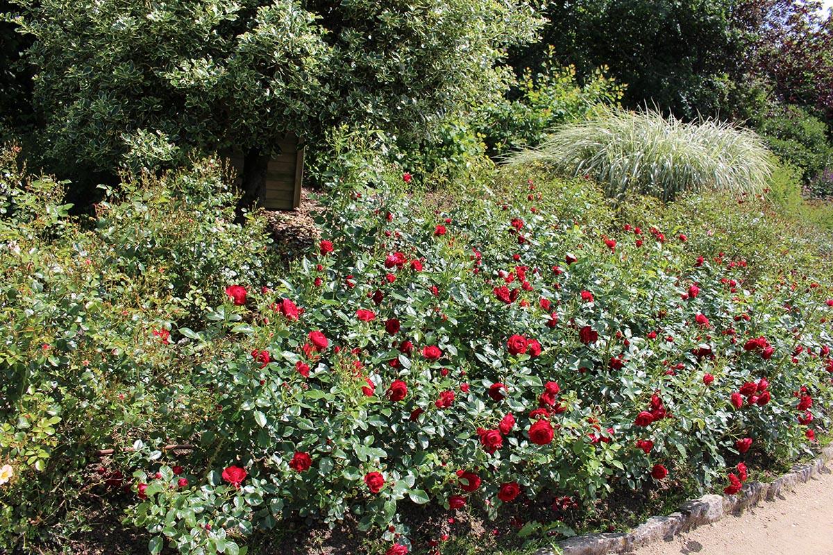 Massif de roses