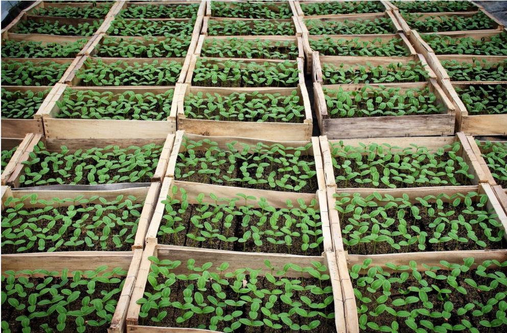 Plants de cornichons