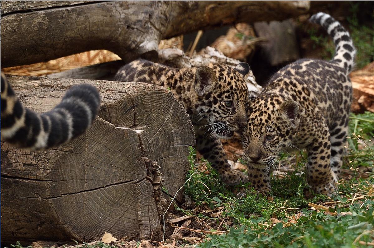 Femelles Jaguar