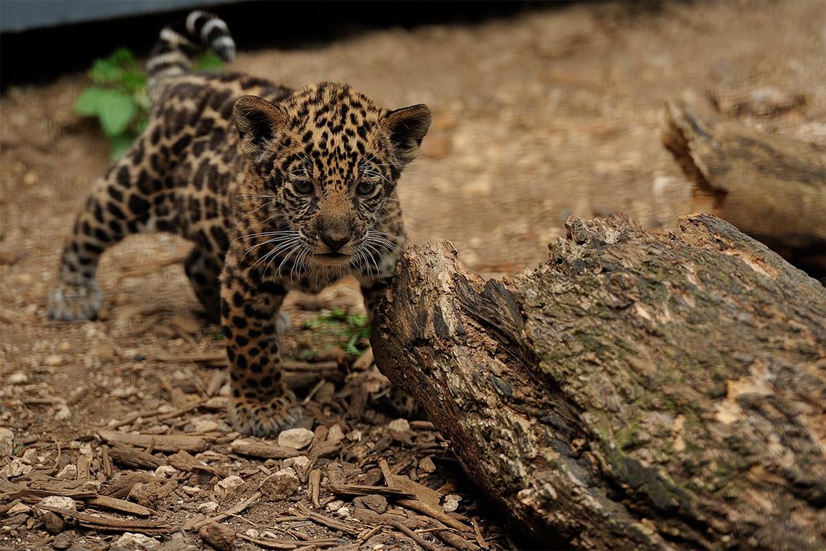 Femelle Jaguar