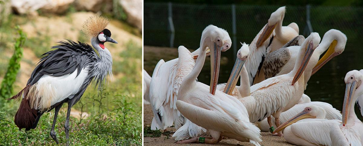 La Grue Royale vit dans les savanes sèches au sud du Sahara, en Afrique. Les Pélicans blancs européens sont migrateurs et hivernent en Afrique et au Moyen-Orient.