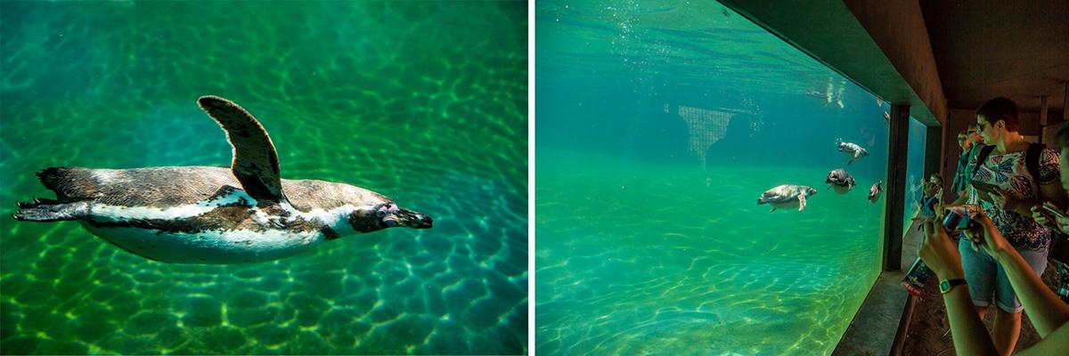 Les Manchots de Humbolt vivent dans une vaste crique. On peut les voir circuler en haut et nager, en bas…