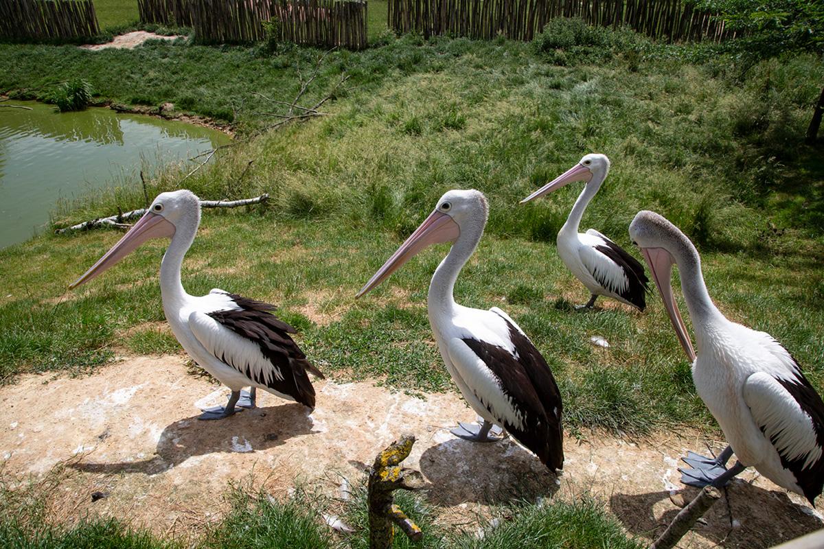 Dans le bush australien, on peut croiser des Pélicans à lunettes, une espèce de grand oiseau aquatique, largement répandu sur les cours d'eau du continent et des côtes.