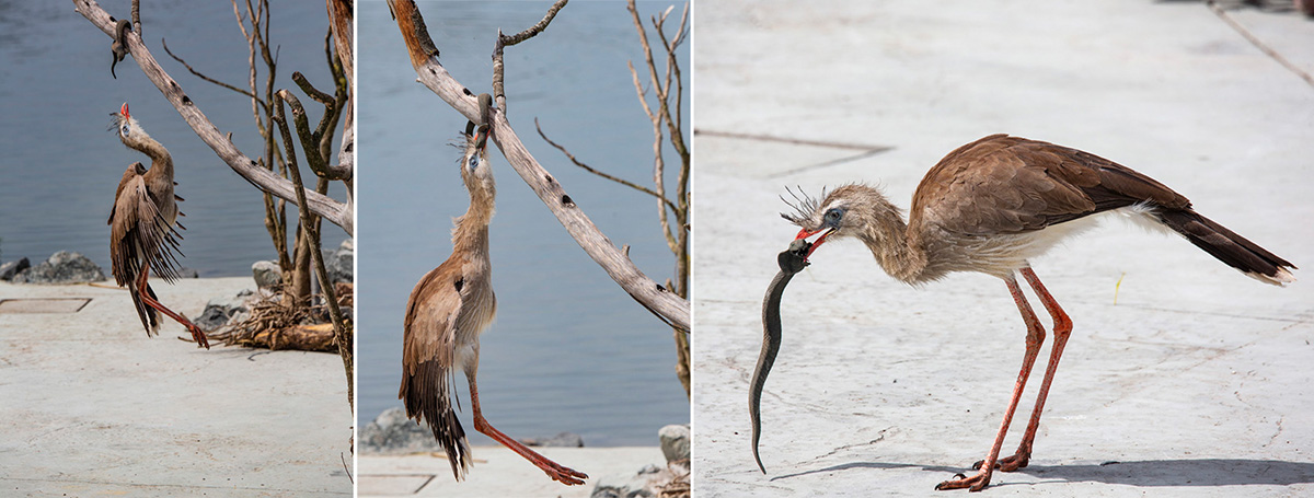 Un Cariama Huppé a repéré le serpent et n'hésite pas à sauter pour l'attraper…