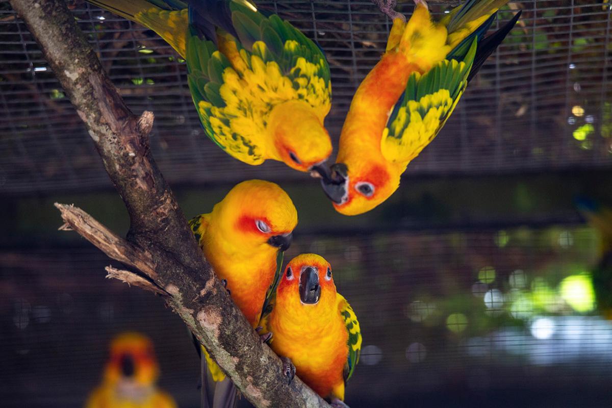 Le Conure soleil, originaire d'Amérique du Sud, est un petit perroquet classé aujourd'hui comme en danger de disparition à l'état naturel.