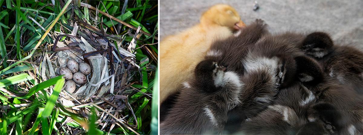 Il n'est pas rare de tomber sur des nids dans le Parc. Dans la nurserie, plus de 500 naissances sont enregistrées chaque année, comme ici, ces bébés canards.