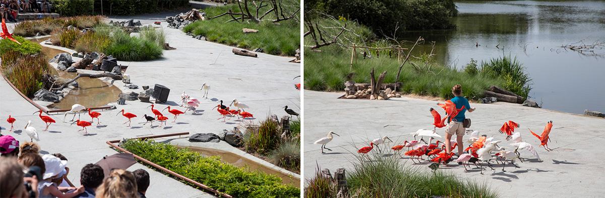 Après l'effort, le réconfort… les ibis, spatules et compagnie, peuvent rentrer au bercail…
