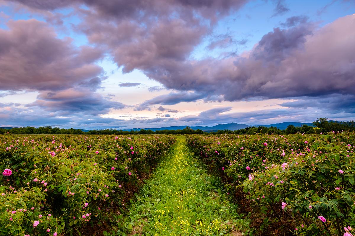 Roses de Grasse