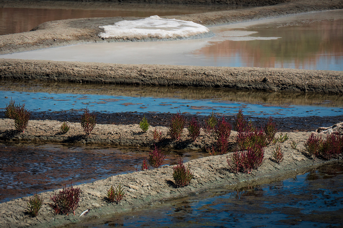 La Salicorne rouge dans les Marais Salants de Guérande