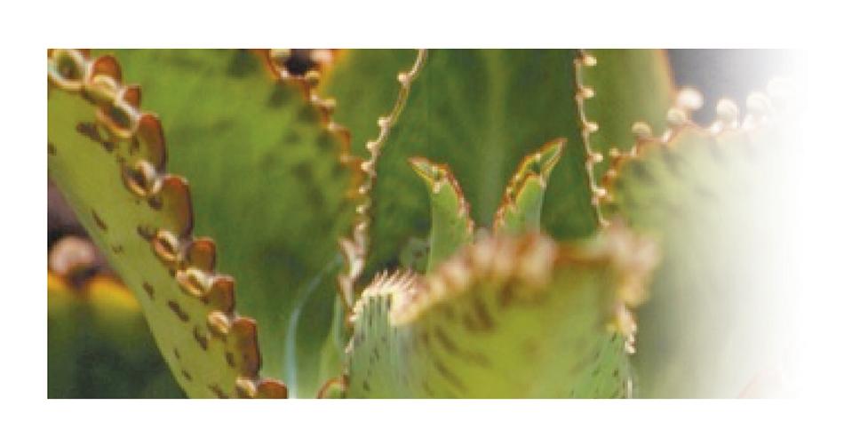 Bryophyllum (Kalanchoe daigremontiana)
