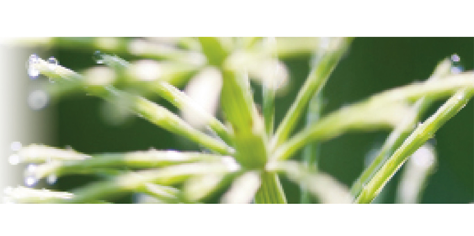 Prêle (Equisetum arvense)