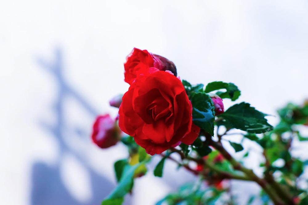 fleurs offrir pour la saint valentin votre dulcin e dynamic seniors. Black Bedroom Furniture Sets. Home Design Ideas