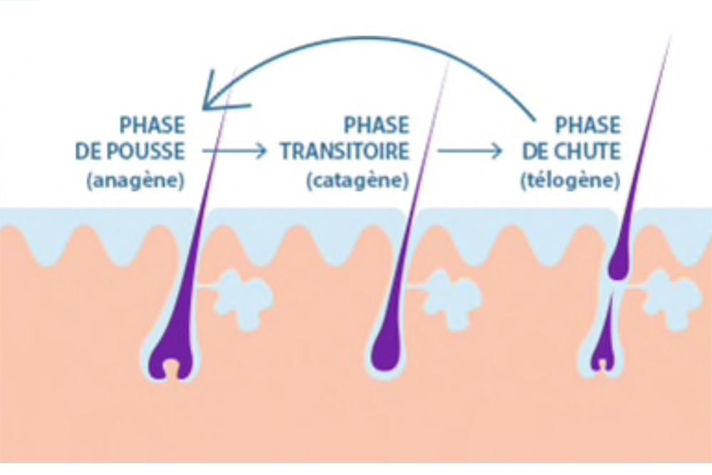 Différentes phases de la pousse des cheveux