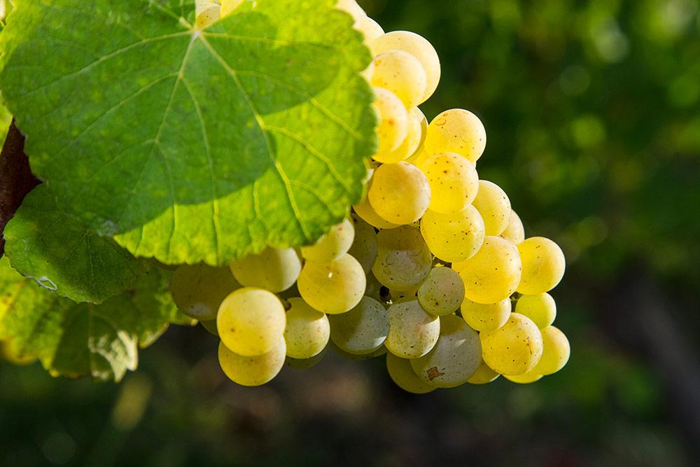 Raisins Côtes du Jura
