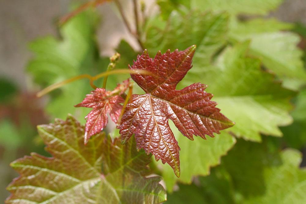 Activ''Jambes Feuille de vigne