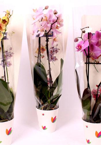 Une Orchidée pour la Mémoire
