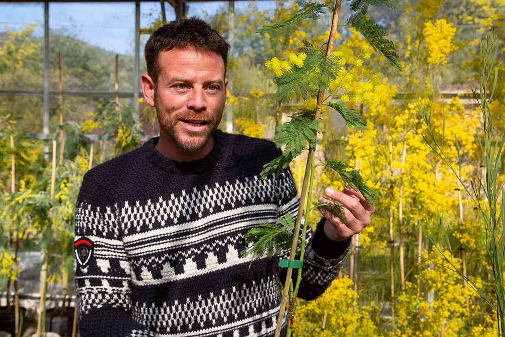 mimosa - Julien Cavatore, grand spécialiste du mimosa.