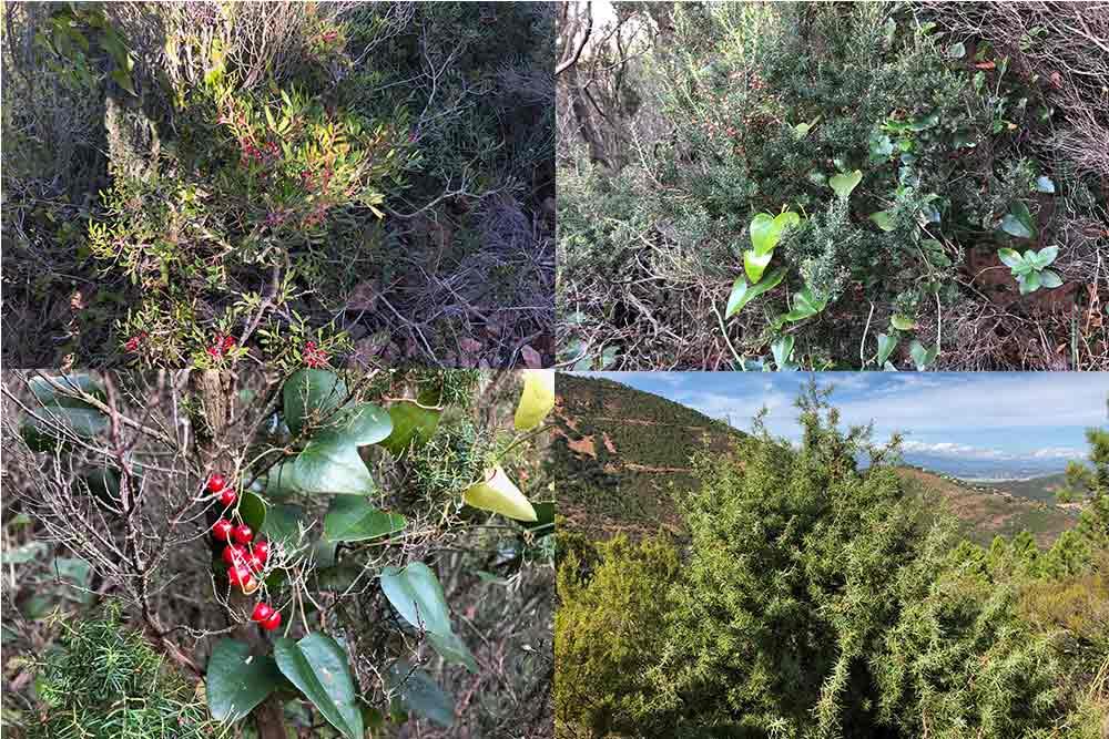 Esterel Côte d'Azur : les plantes qui parsèment le chemin allant au Pic d'Aurèle.
