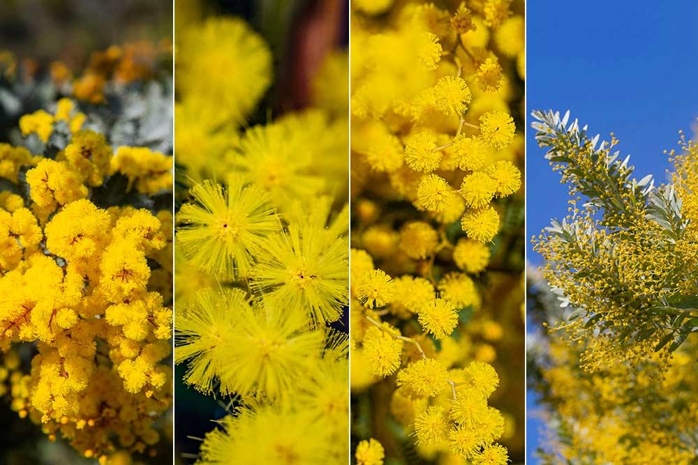 Mimosa - Petit aperçu des collections de mimosa.