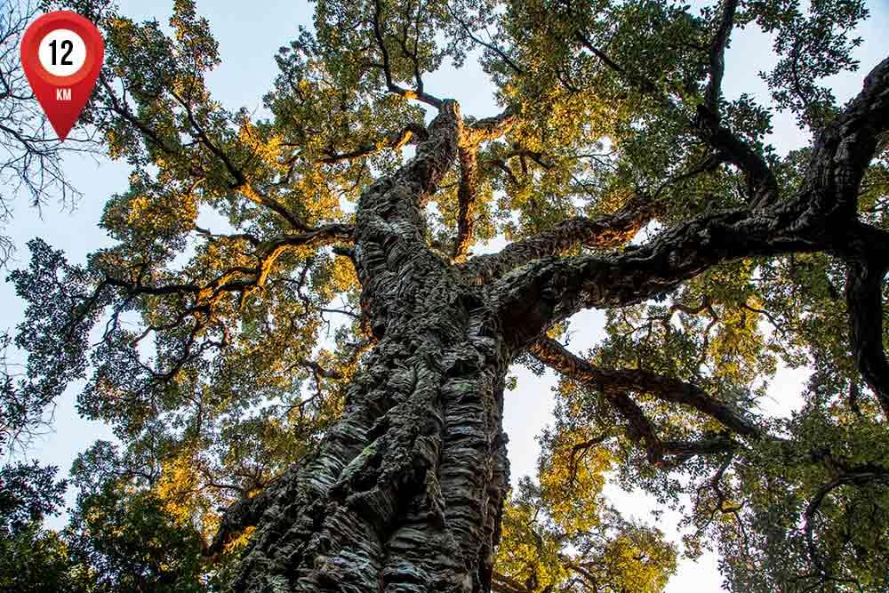 Un chêne liège de plus de 100 ans, dans l'espace Maquis du Domaine du Rayol.