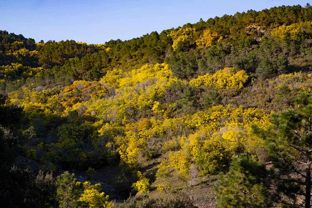 mimosa - le massif change de couleur chaque année et devient jaune!