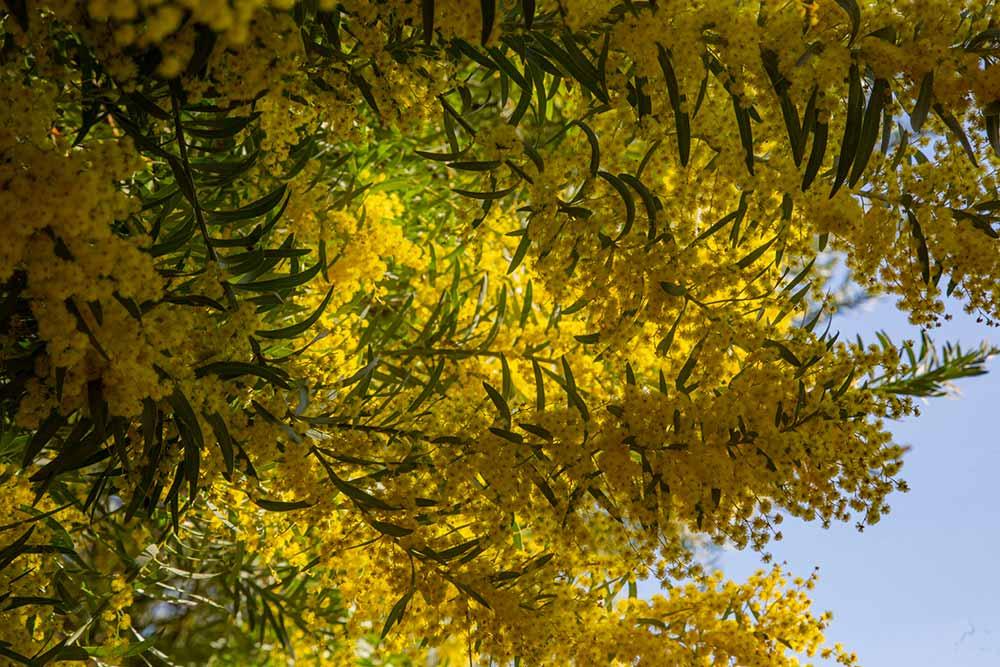 mimosa - 50 espèces de plantes dont de nombreuses espèces de mimosa.