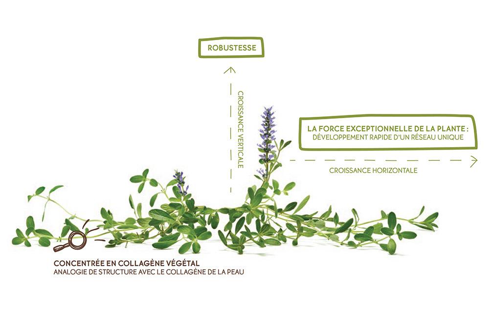 Ajuga Reptans : L'herbe magique de la Cosmétique Végétale