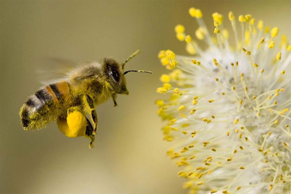 Abeille qui butine le Pollen des fleurs