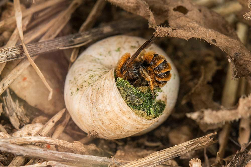 Cocon d'une abeille maçonne