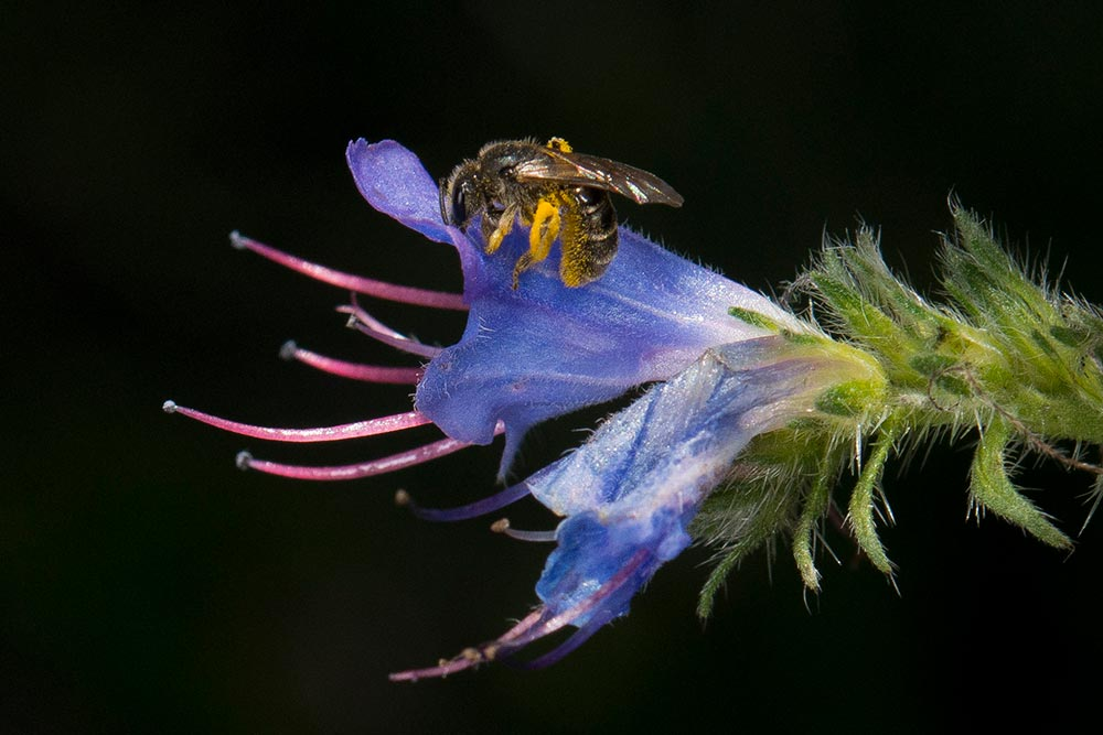 To Bee Or Not To Be - Abeille qui butine