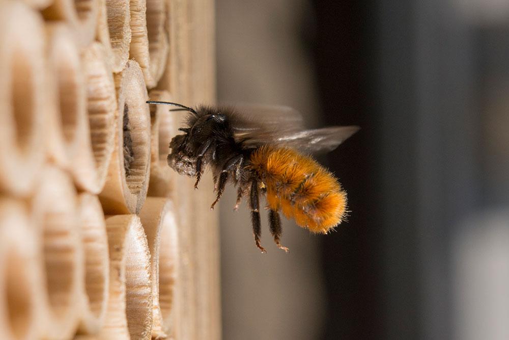 Maisonnette pour les abeilles maçonnes