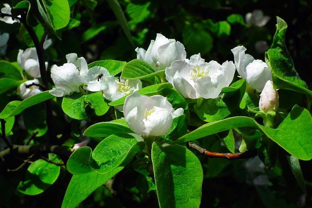 Fleurs de Coing