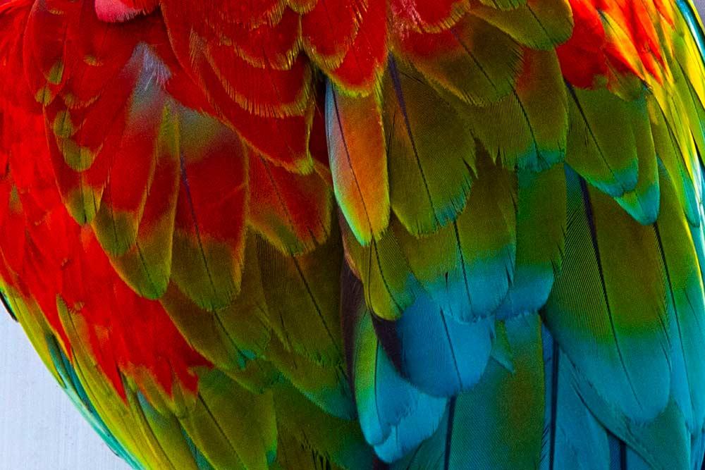 Les perroquets aras portent un plumage vivement coloré…