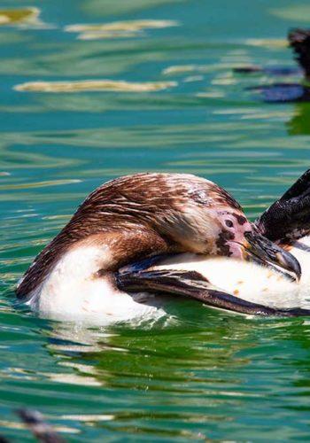 Quand ils ne se dandinent pas, les manchots se plaisent à nager et flotter sur l'eau.