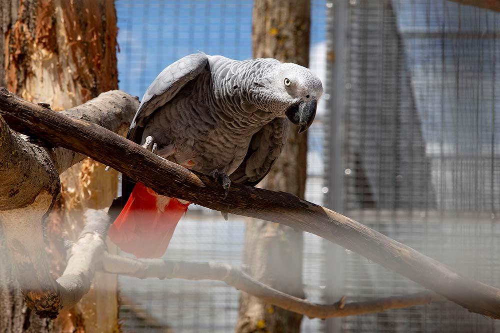 Parmi les différentes espèces des psittaciformes présentes dans le parc, le perroquet gris du Gabon.