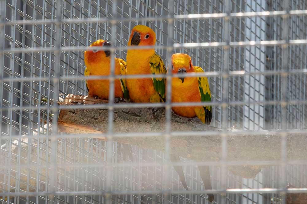 Les conures soleil, sont des perroquets joueurs, intelligents, curieux…