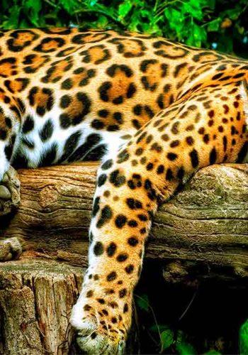 Deux jaguars majestueux vont arriver dans le parc.